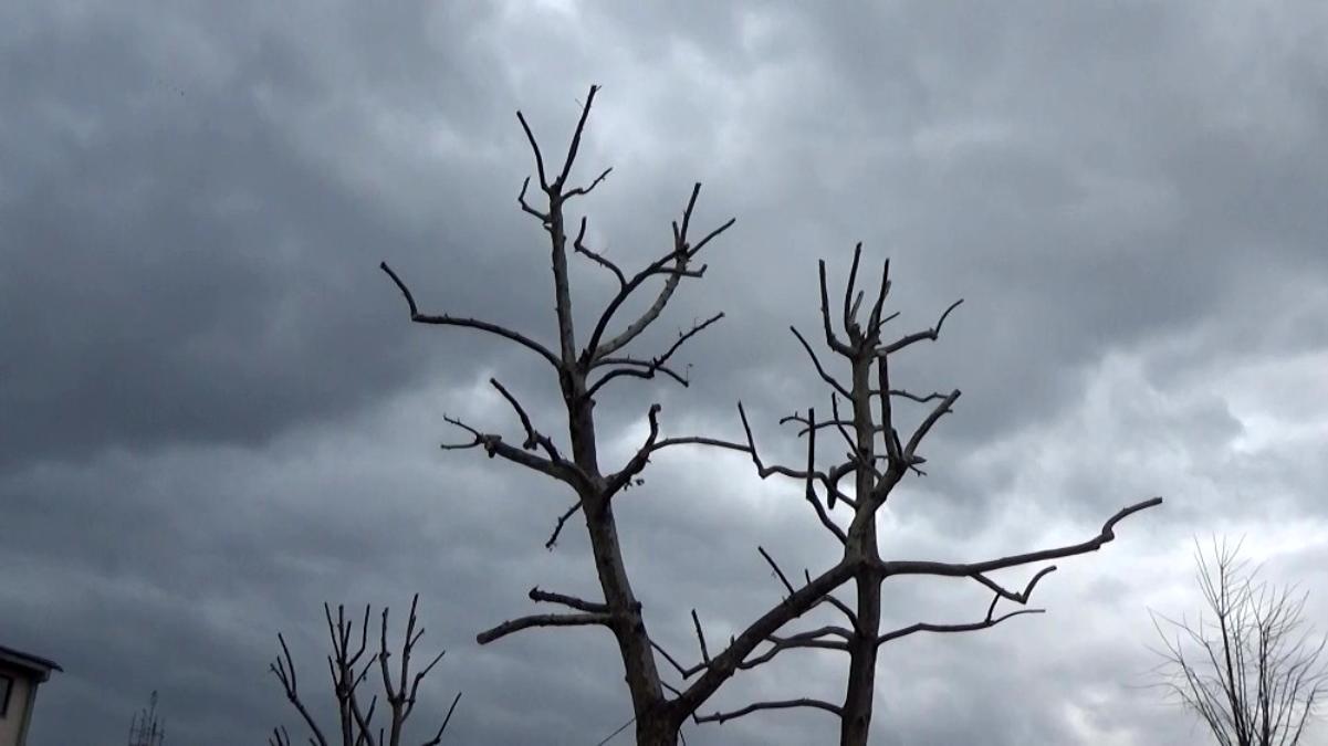 Ağaçlarda budama işlemi devam ediyor